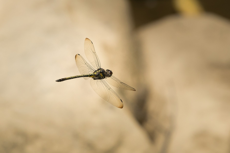 Flying Dragons part IV of IV. What is the difference between Demoiselle vs Dragonflies