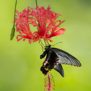 Spangle Butterfly .  Papilio protenor