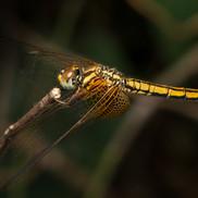 Crimson Dropwing dragonfly