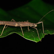 A twig insect