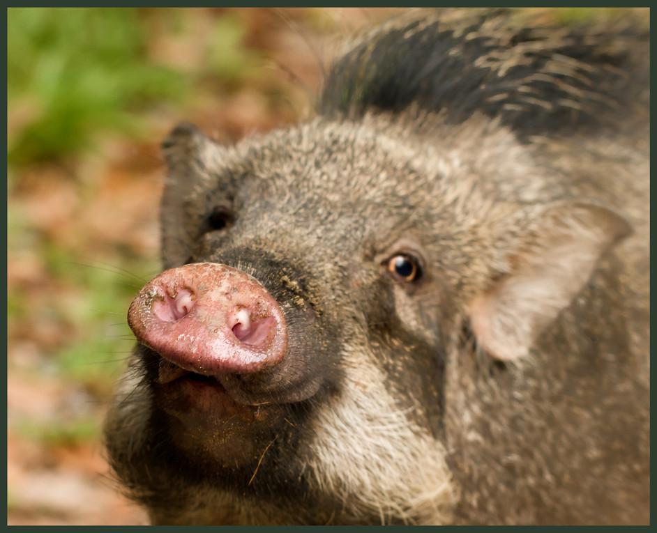 This little piggy went to market...