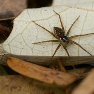 Huntsman spider - Dolomedes sp.