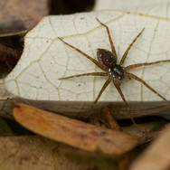 Huntsman spider - Dolomedes sp.