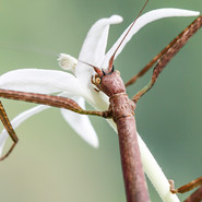 A stick insect