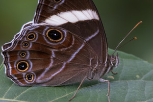 the banded treebrown