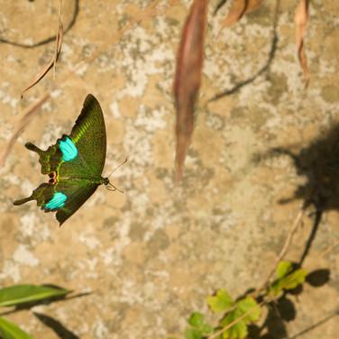 Paris Peacock Butterfly - Papilio paris