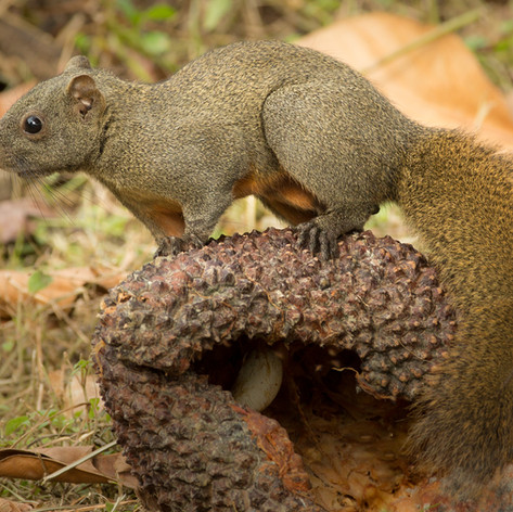 Pallas Squirrel
