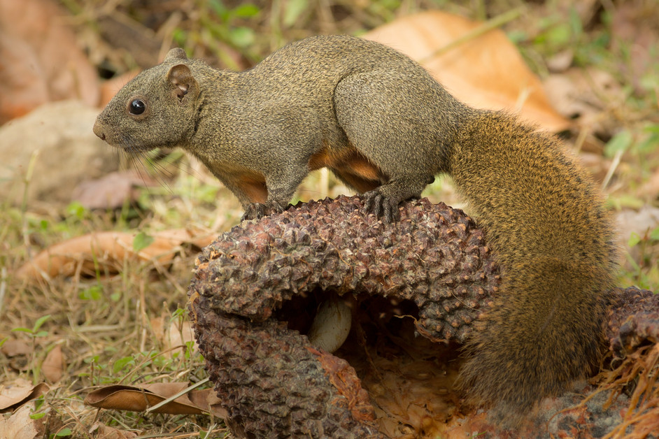 Something much cuter now.....The lovely red-bellied tree squirrel