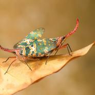 Lantern Bugs