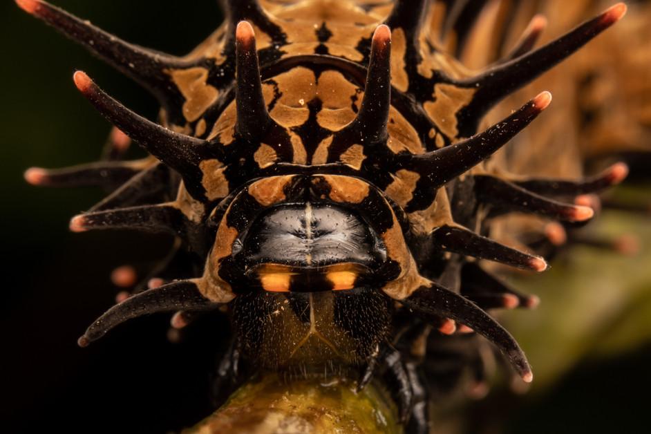 Monster caterpillars....