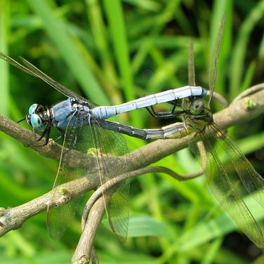 dragonfly mating