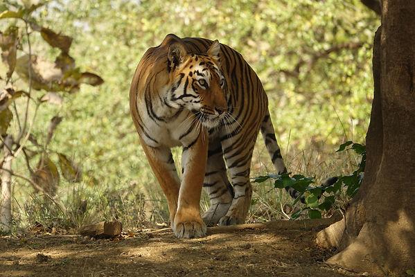 empress of tadoba maya the tiger