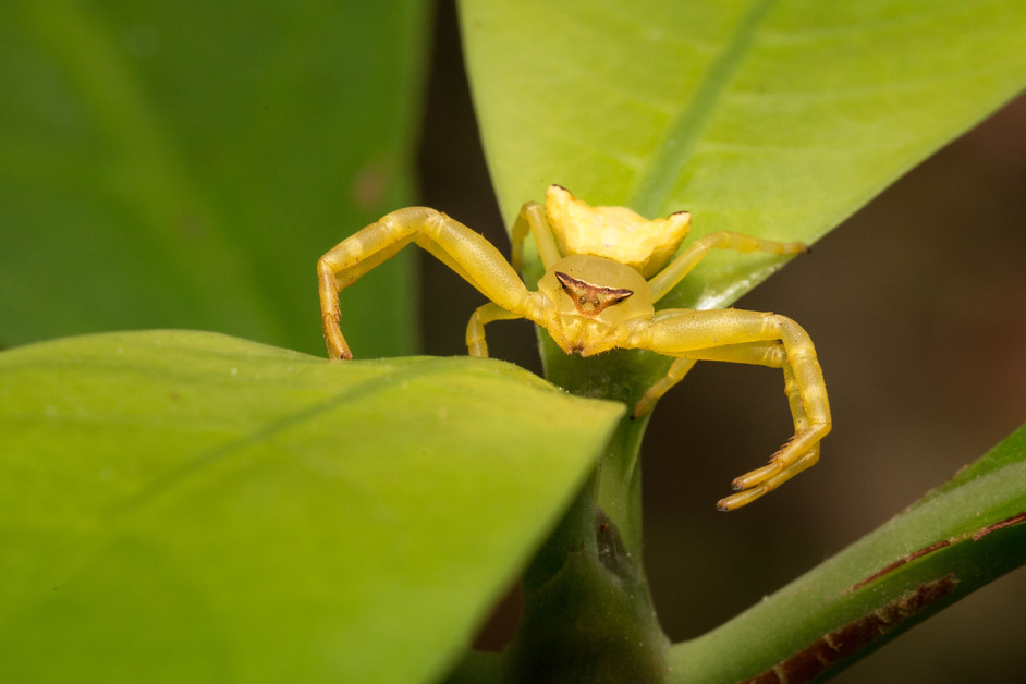 When is a crab spider not a crab spider?