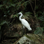 Little or Common Egret - with breeding plummage