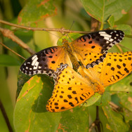 Male and Female Indian Fritillary - Argynnis hyperbius