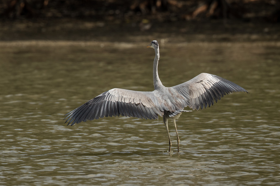 Another heron.