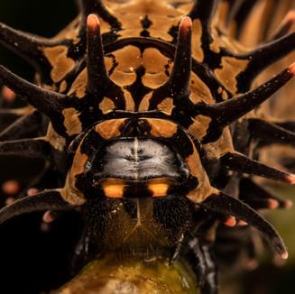 A Birdwing Butterfly Caterpillars.