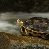 yellow lined box turtle