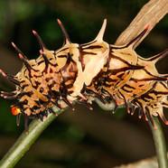 Birdwing catepillar - Troides sp.
