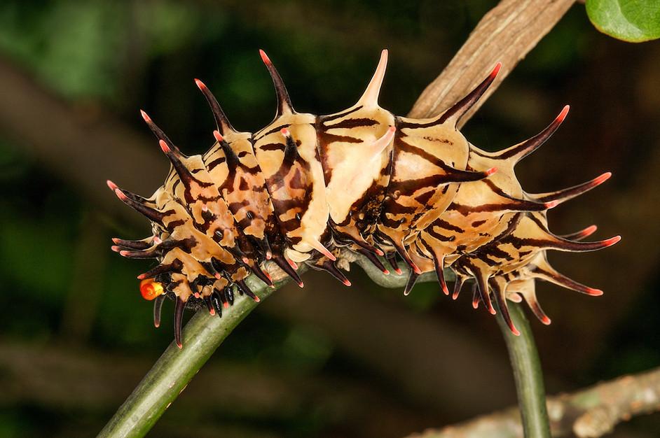 Cool bugs of Hong Kong: II.  The Golden Birdwing Catepillar