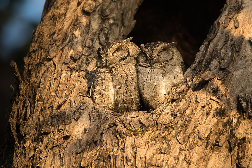 scops owls tadoba india