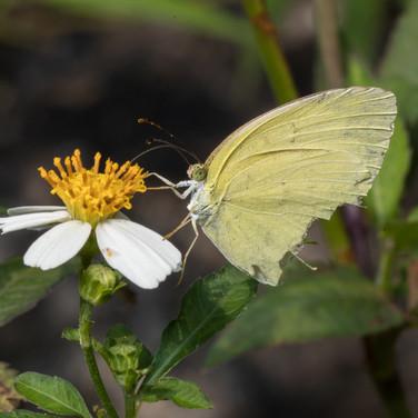 Grass yellow butterfly - Eurema