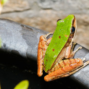 Green Cascade Frog