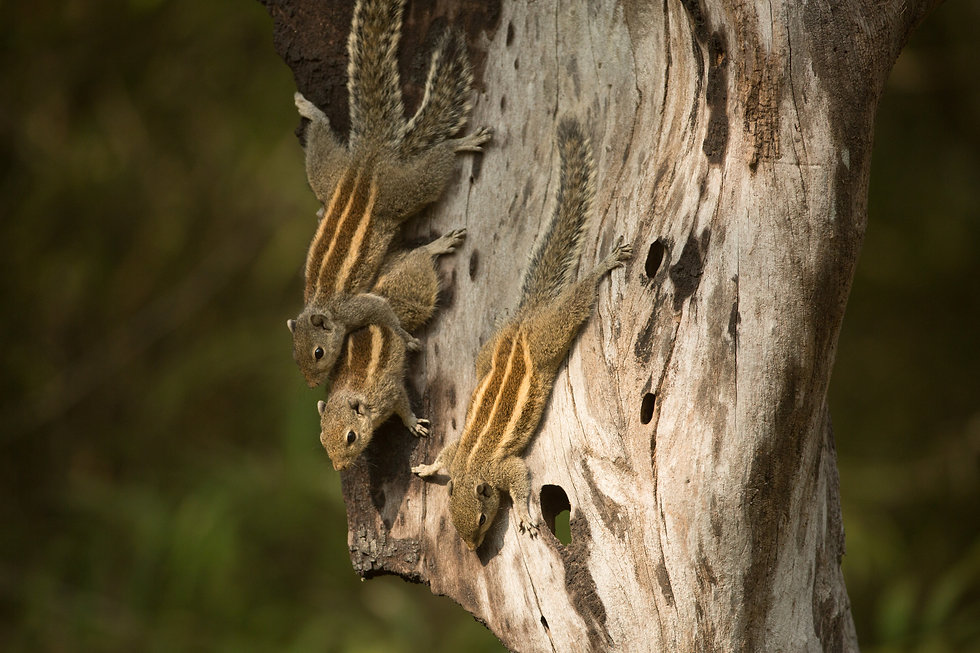 squirrels tadoba national park india