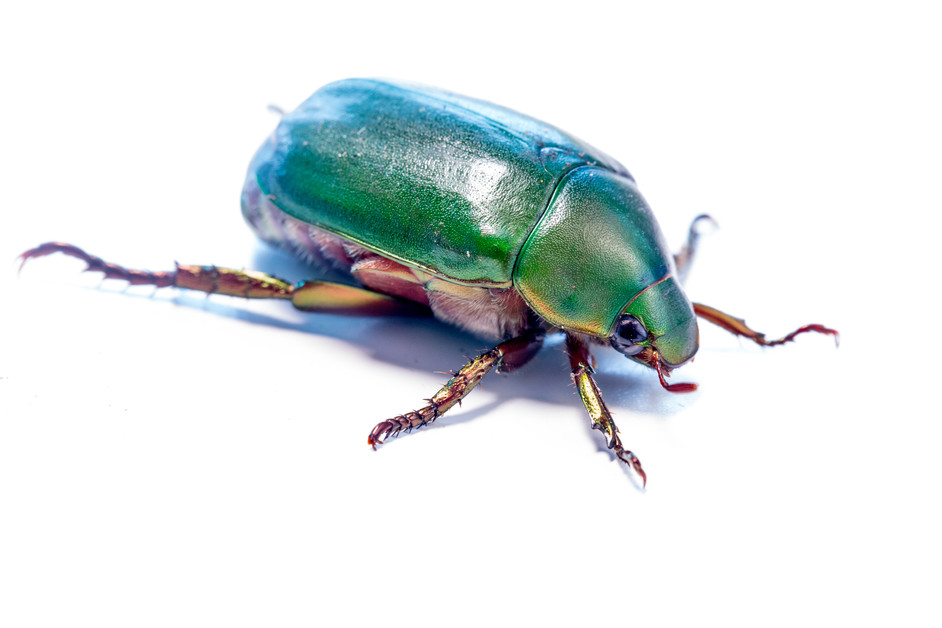Another Chafer