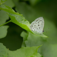 Common hedge blue - Acytolepis puspa