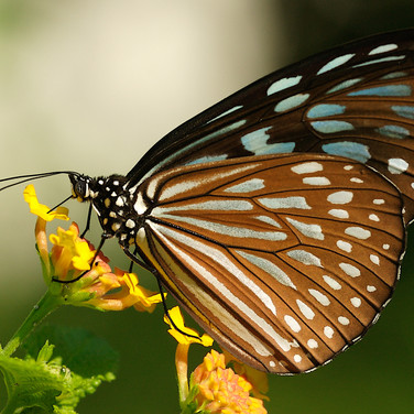 Ceylon Blue glassy tiger - Ideopsis similis