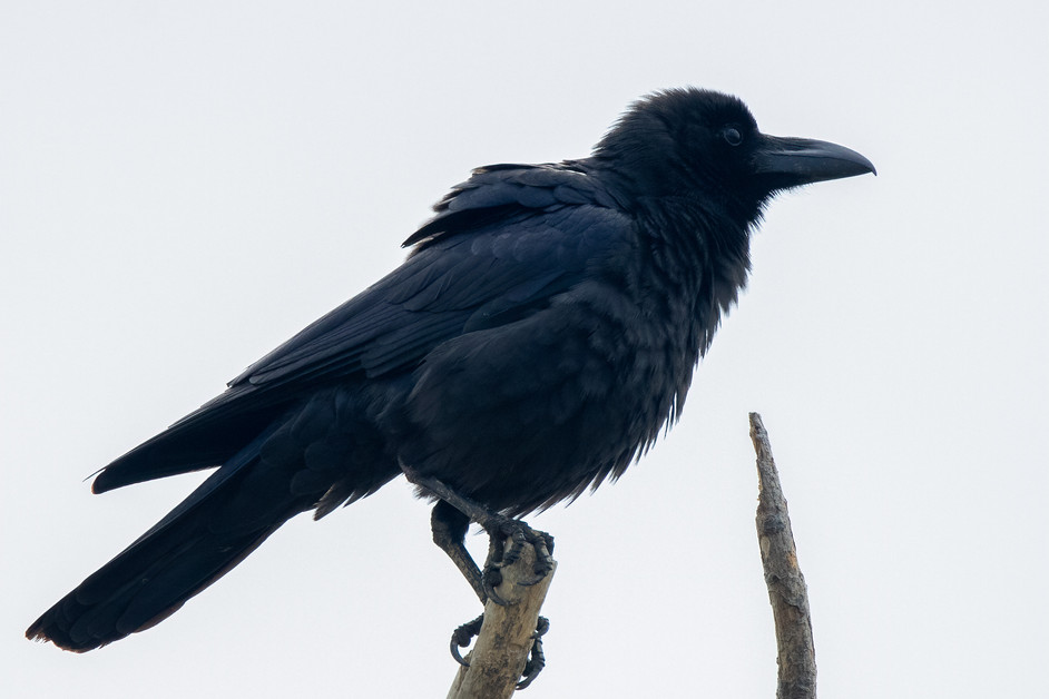 Counting Crows..what do you call a large number of crows?