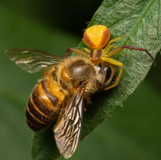 Banded Crab spider with honey bee prey