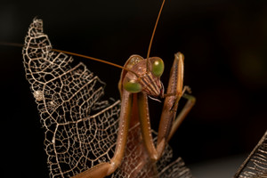 Local mantis portraits