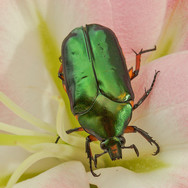 v green beetle.jpg