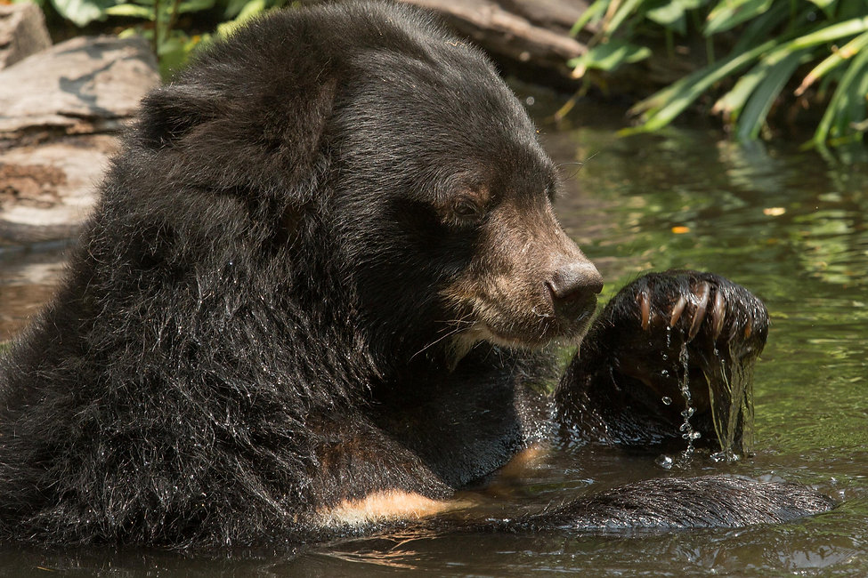 sloth bear having a bath in india