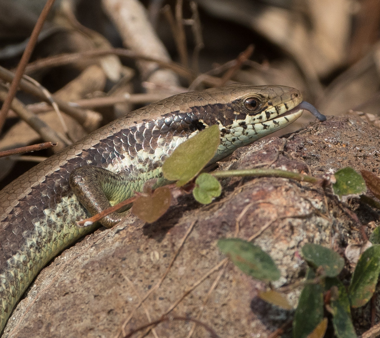 Snakes October19102018-6070