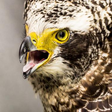 Juvenile Crested Serpent Eagle