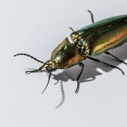 Jewel Bug or Click Beetle