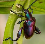 Sagra Beetle or Frog legged beetle