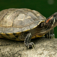 Thered-eared slider(Trachemys scripta elegans), also known as thered-earedterrapin