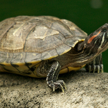 The red-eared slider (Trachemys scripta elegans), also known as the red-eared terrapin