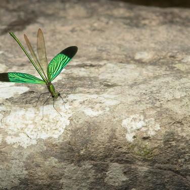 The Emerald demoiselle