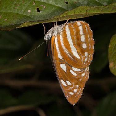 Short banded sailor  phaedyma columella.