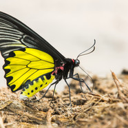Birdwing Butterfly - Troides aeacus