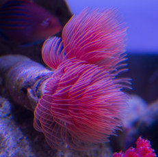 red feather duster worm