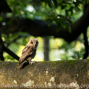 The Collared Scops Owl