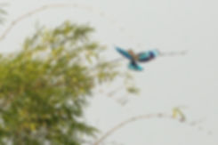 Indian roller bird flying