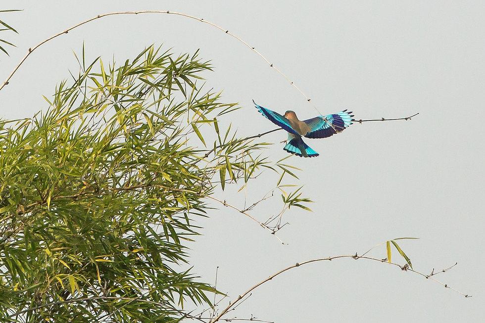 Indian roller bird flying