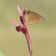 Common Crow - Euploea core